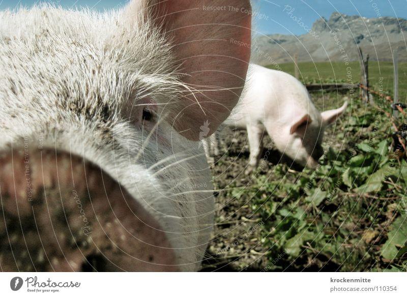 Animal Happy Dirty Ear Pigs Farm Mammal To feed Swine Snout Beard hair Sow Piglet Barn Good luck charm Grunt