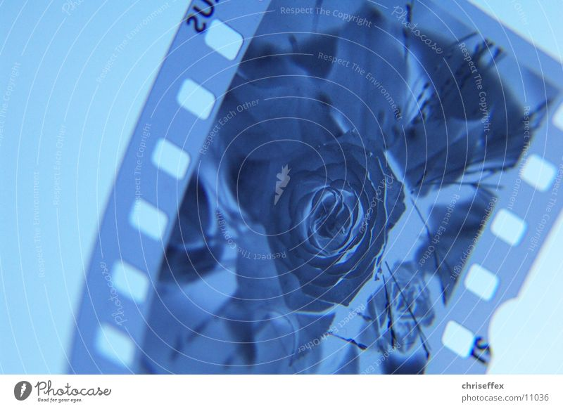 Flower Blue Rose Film industry Slide Negative Media Photographic technology
