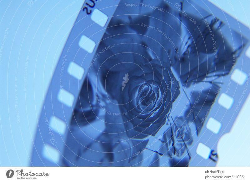 Flower Blue Rose Film industry Slide Negative Media Photographic technology