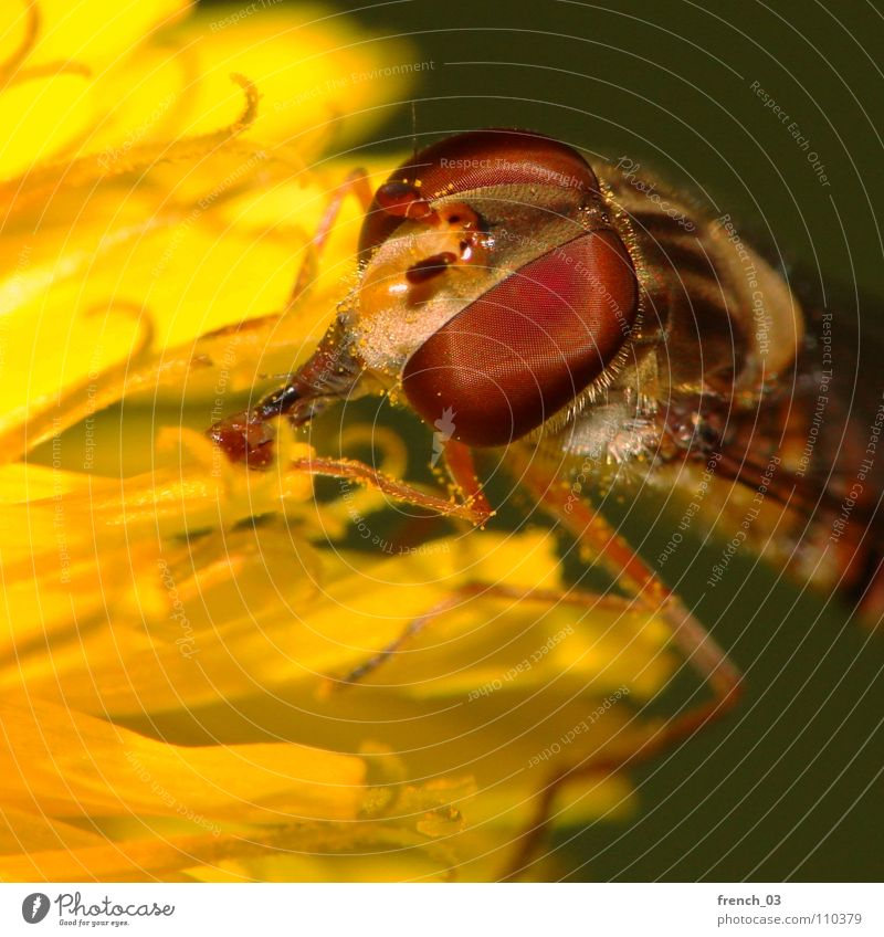 Flower Red Summer Black Eyes Yellow Legs Small Fly Flying Large Insect Pelt Dandelion Hover