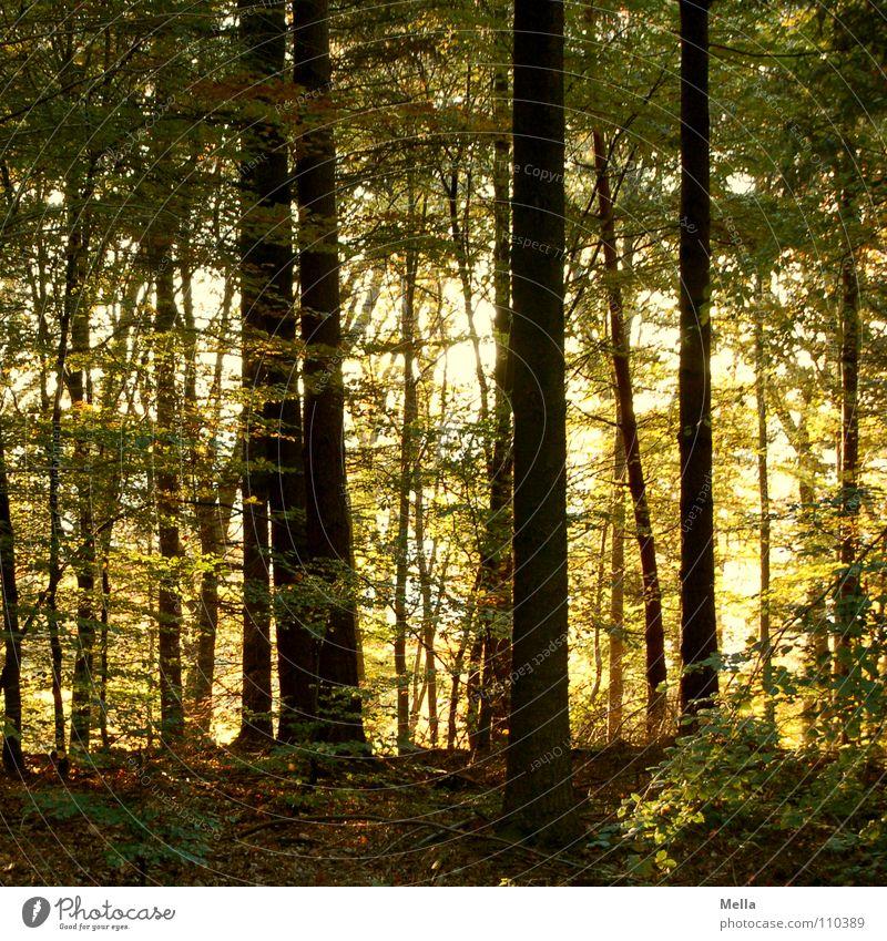 Green Tree Leaf Forest Yellow Autumn Brown Europe Beautiful weather Fairy tale Autumnal Thief Novella Dwarf Elf Leaf canopy