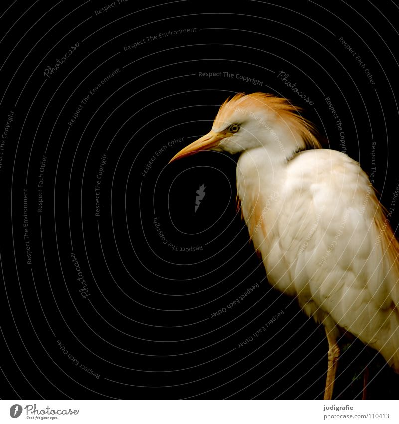 Black Animal Colour Bird Feather Beak Pride Heron Cattle Egret