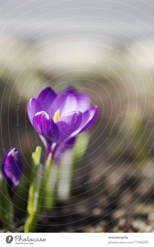 spring warmth Environment Nature Plant Earth Spring Beautiful weather Foliage plant Wild plant Crocus Thin Authentic Simple Fresh Small Natural Dry Warmth