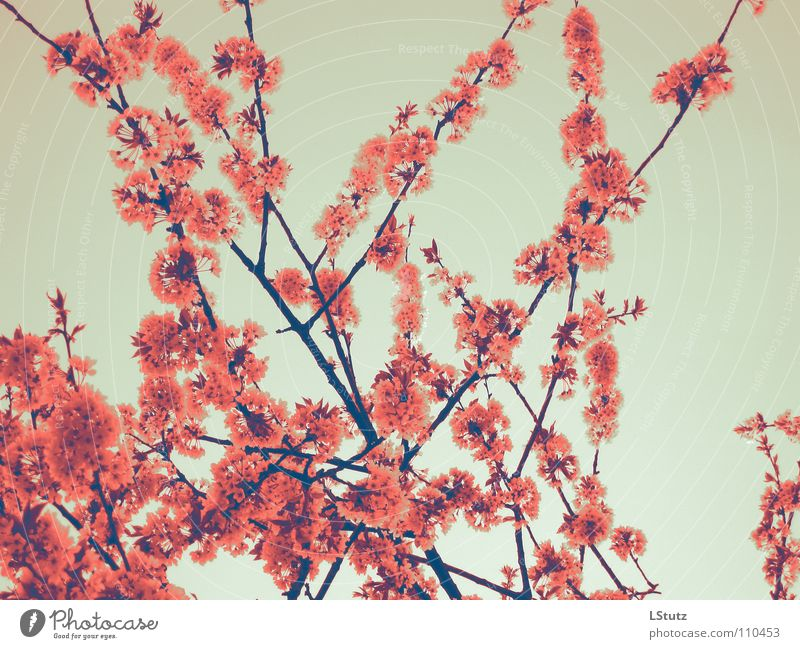 cherry blossom girl Spring Tree Blossom Pink Red Branch Cherry Cherry tree Fertile Seasons Nature Branchage Cherry blossom Colour photo Multicoloured