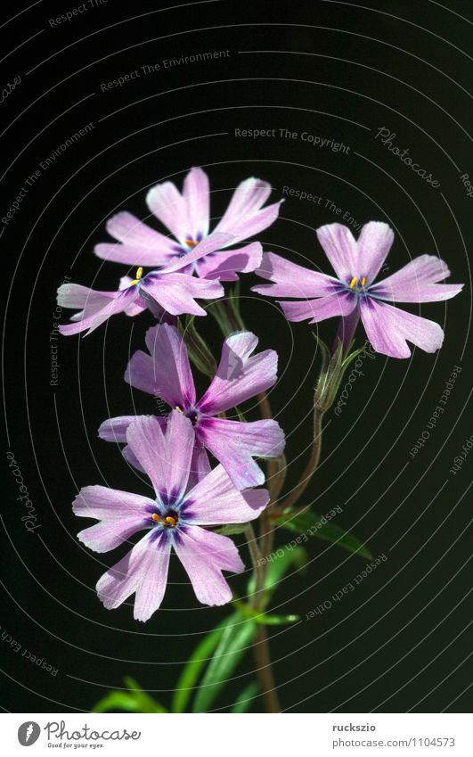 Padded phlox, moss phlox, Nature Plant Flower Blossom Wild plant Garden Blossoming Free Violet Black cushion plox Moss-Phlox subulata dwarf ox alpinium