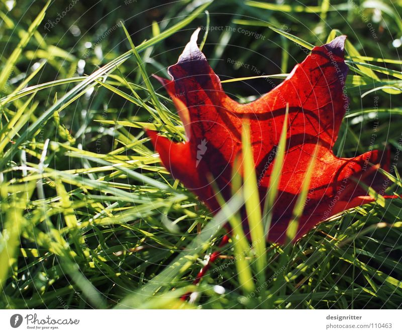 Green Tree Red Leaf Meadow Autumn Grass To fall End Past Maple tree Like Wood flour