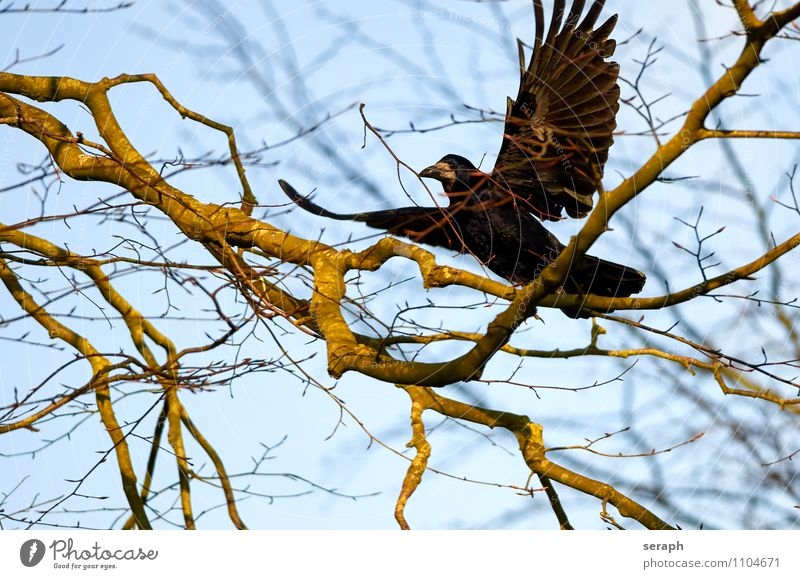 Nesting Animal Bird Wing Feather Raven birds Crow Nature Tree Branch Twig Canopy (sky) Resting Flying Environmental protection Treetop Forest Building Spring