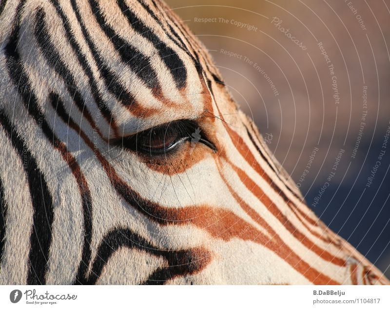 In the Eye of the Zebra Exotic Vacation & Travel Tourism Adventure Far-off places Freedom Safari Expedition Nature Animal Wild animal 1 Brown White Africa