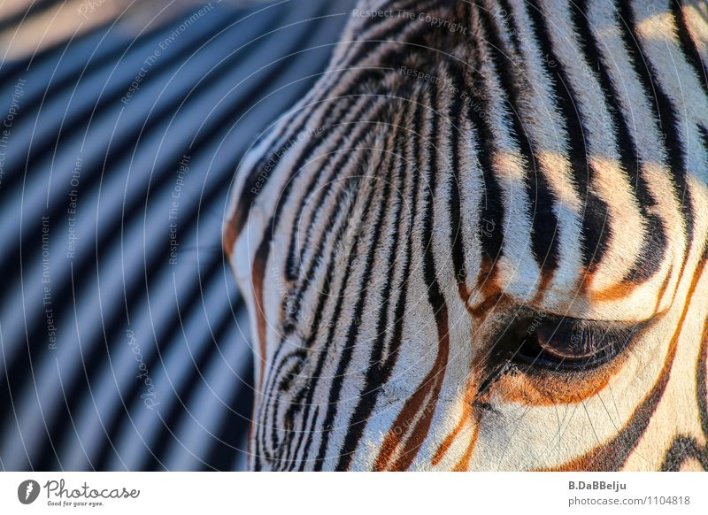 Zebra Profile Exotic Vacation & Travel Tourism Adventure Far-off places Freedom Safari Expedition Summer Nature Animal Wild animal 1 Stripe Discover Exceptional