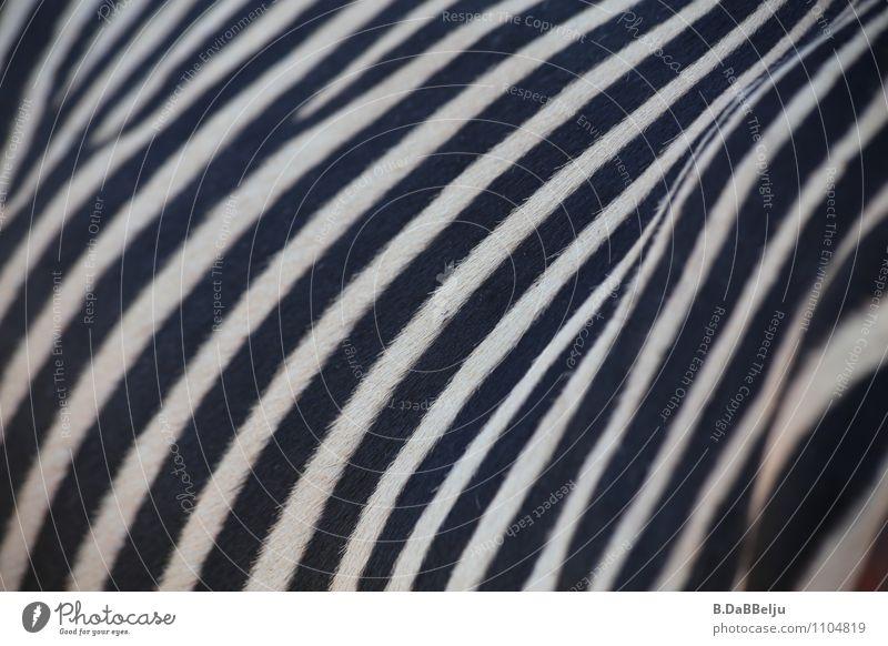 striated Exotic Vacation & Travel Adventure Freedom Safari Expedition Animal Wild animal Pelt Zebra 1 Esthetic Black White Beautiful Curiosity Wanderlust