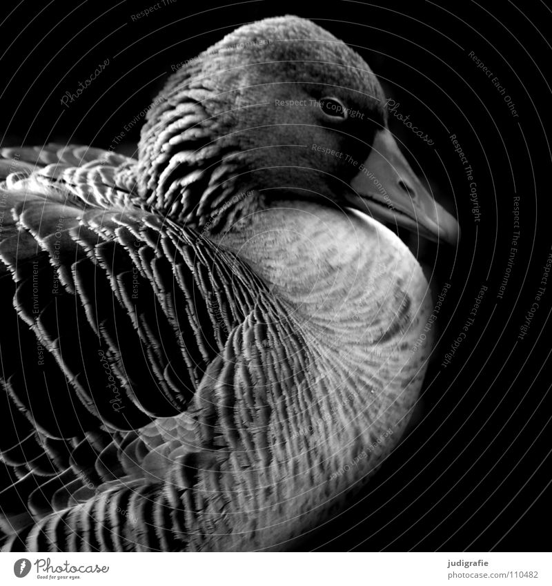 goose Calm Goose Gray lag goose Sleep Bird Black White Feather Beak Dark Wild goose Grief Black & white photo Relaxation Nature field goose waterfowl Sadness
