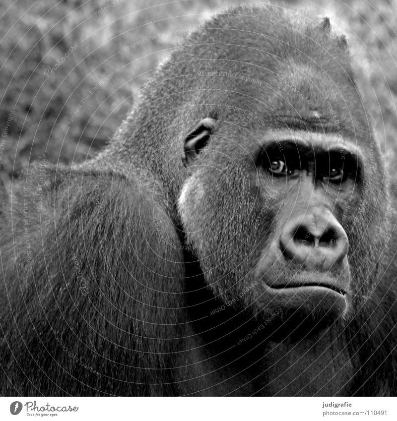 gorilla Gorilla Monkeys Masculine Animal Mammal Apes Captured Black White Macho Grief Pelt Zoo Black & white photo Might hominidae Looking Aggravation Sadness
