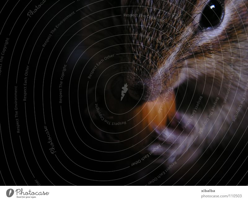chipmunks Colour photo Interior shot Close-up Copy Space left Shadow Deep depth of field Animal portrait Looking into the camera Food Pet Animal face Pelt Paw 1