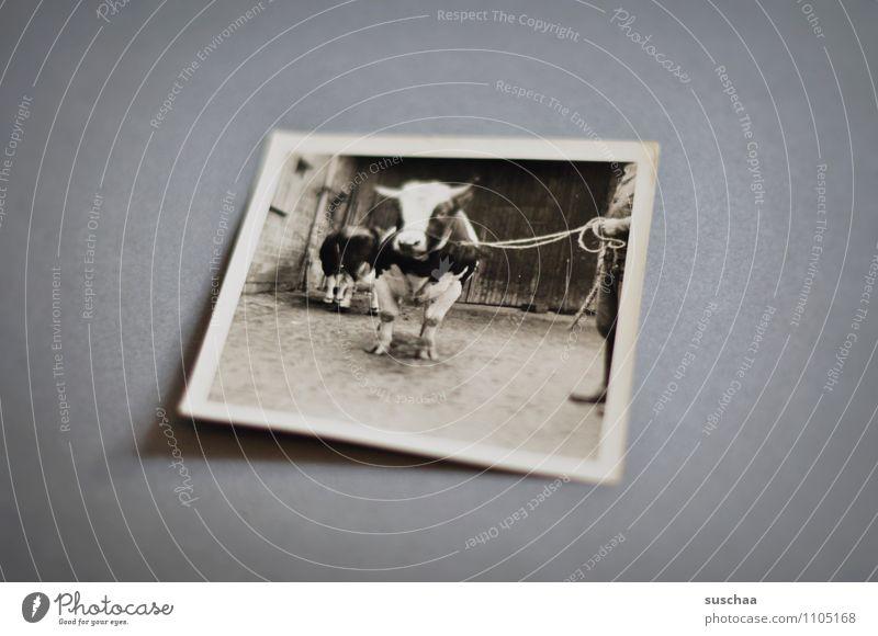 bull Photography Analog Old Memory family album Black & white photo Bullock Cattle Livestock breeding Agriculture
