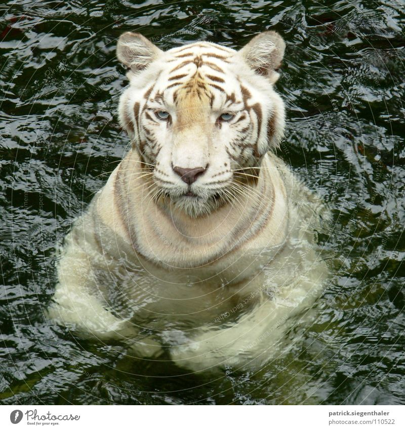 Swimming Tiger hidden Dragon Indian Tiger Power Cat White Watchfulness Zoo Singapore Feeding Mammal Asia Force White Tiger South Asia big cat blue eyes