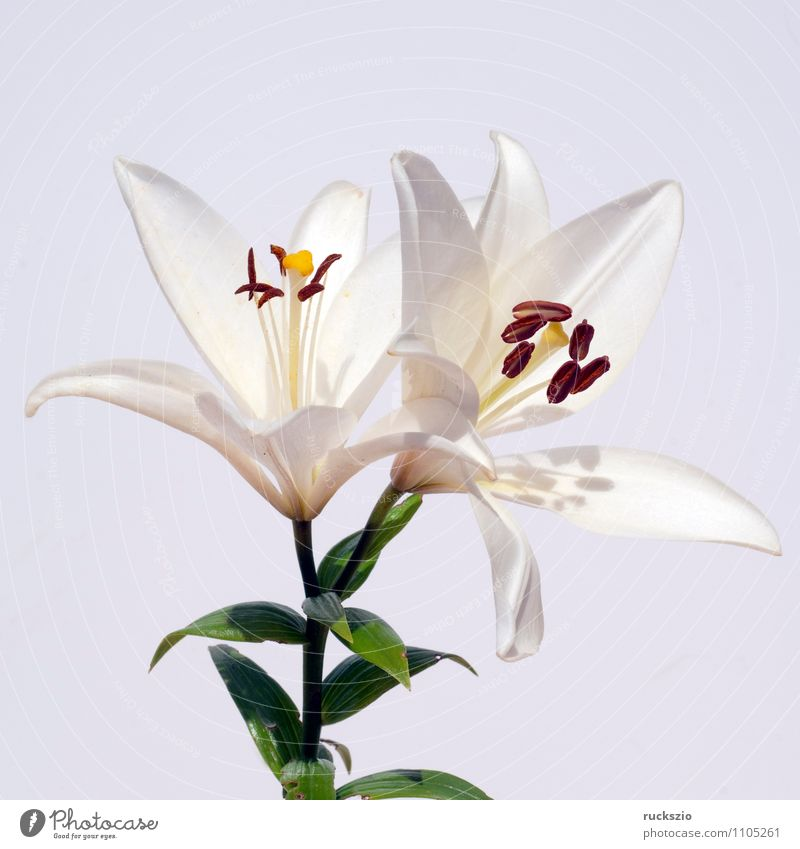 White, lily; hybrid; lily; hybrid; Nature Plant Flower Blossom Free Lily Hybrid Summerflower garden flower garden flowers Ornamental plant whitebox Neutral