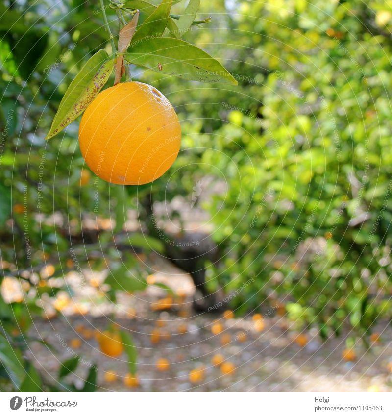 sun-ripened... Food Fruit Orange Organic produce Vegetarian diet Environment Nature Landscape Plant Spring Beautiful weather Tree Leaf Agricultural crop