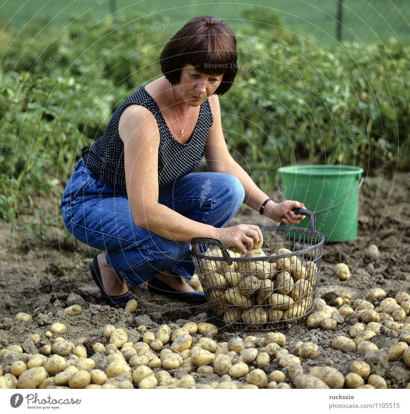 Potato harvest, potatoes, vegetable harvest; Vegetable Alternative medicine Garden Woman Adults Autumn Work and employment Potatoes Basket Harvest