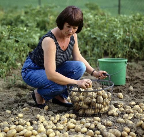 Woman Adults Autumn Garden Work and employment Vegetable Harvest Alternative medicine Basket Medicinal plant Potatoes Basketball basket Homespun remedy