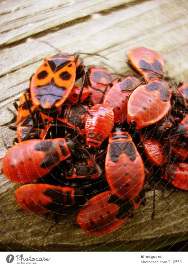 cuddly group Firebug Bug Bow Macro (Extreme close-up) Insect Plagues Red Yuck Wood flour Cuddling Together Society Assembly Muddled Consecutively Side by side