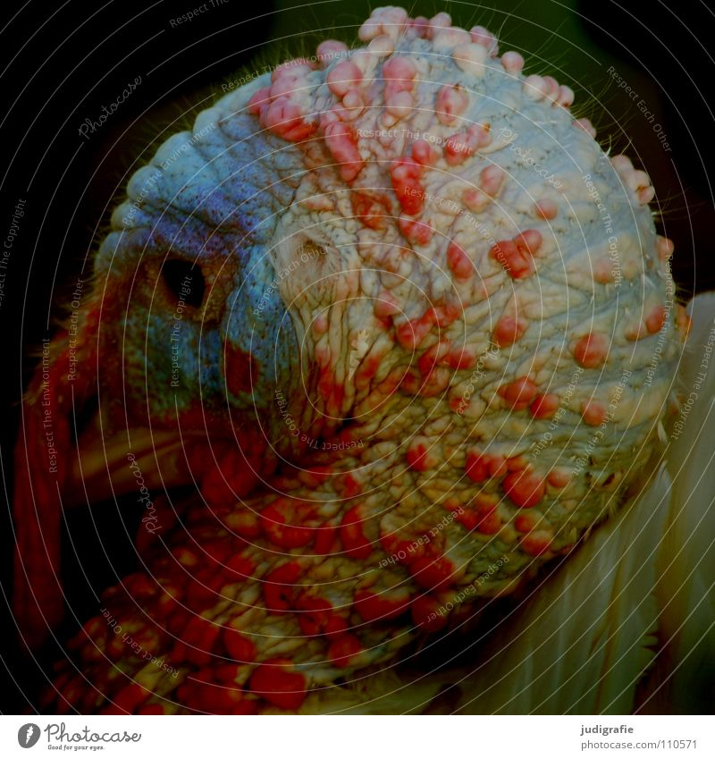 Red Colour Animal Food Bird Feather Farm Beak Pride Public Holiday Aggression Extraterrestrial being Comb Turkey