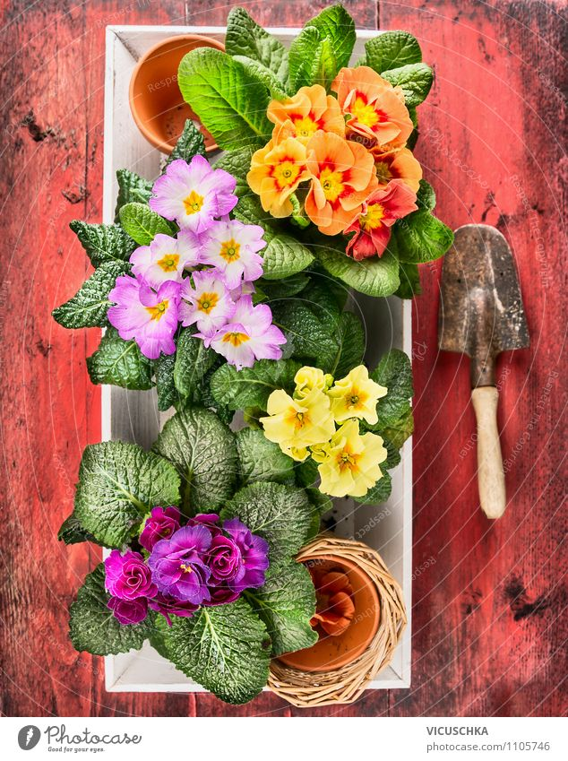 Colorful primroses with old hand shovel Lifestyle Elegant Style Design Joy Leisure and hobbies Summer House (Residential Structure) Garden Decoration Nature