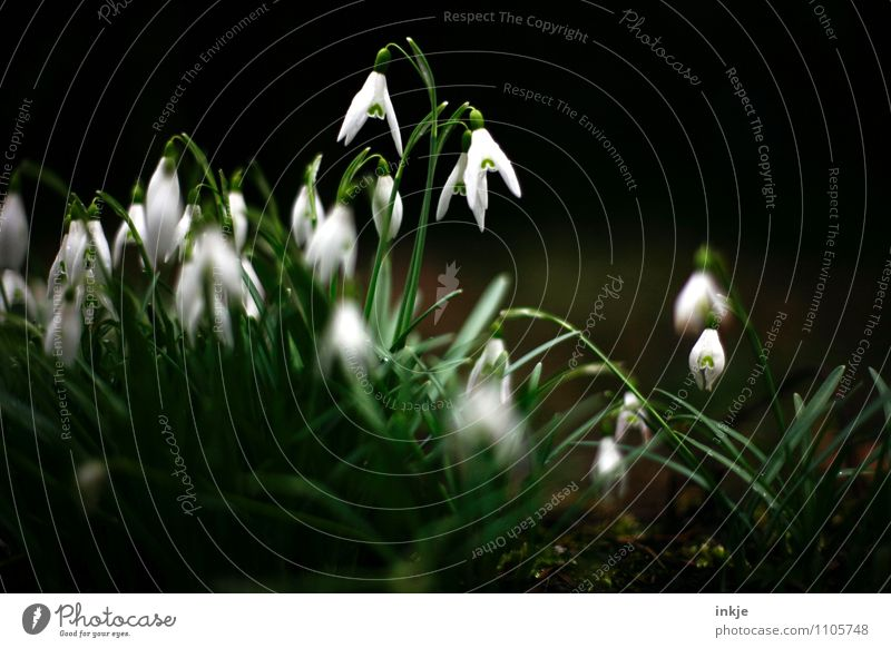 wild spring Nature Plant Spring Flower Lily of the valley Spring flowering plant Blossoming Hang Fresh Beautiful Natural Green Black White Emotions Moody