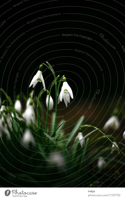 ray of hope Nature Plant Spring Flower Wild plant Lily of the valley Spring flowering plant Garden Blossoming Hang Dark Fresh Bright Beautiful Small Natural
