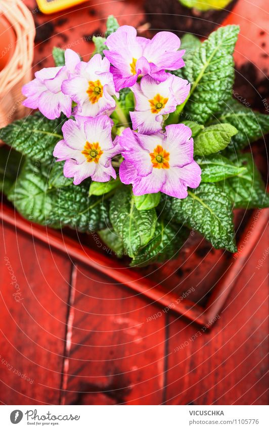 Pink primroses on red wooden table Style Design Leisure and hobbies Summer Garden Interior design Decoration Table Feasts & Celebrations Mother's Day Nature
