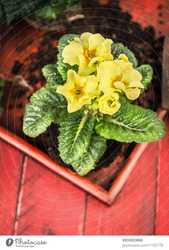 Yellow primroses on red wooden table Lifestyle Style Design Summer Flat (apartment) Garden Decoration Table Nature Plant Spring Flower Green Red