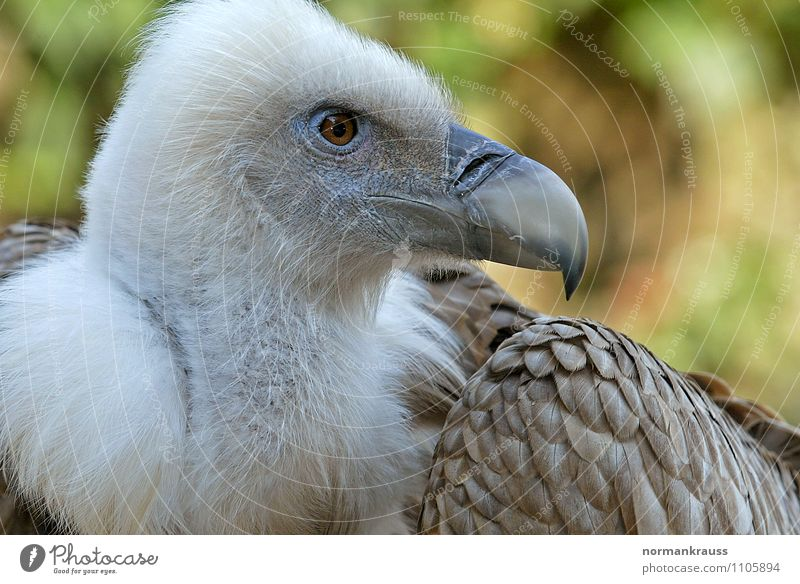 griffon vulture Animal Bird Zoo 1 Observe Beautiful Pride Power Vulture Griffon Vulture Beak Scavenger Bird of prey Bird's head bird portrait Feather