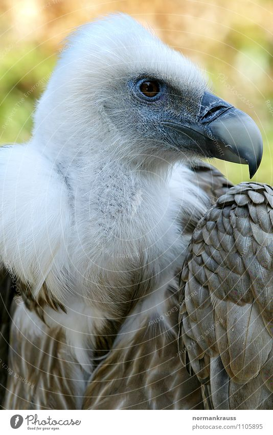 griffon vulture Animal Bird Zoo 1 Observe Watchfulness Power Vulture Griffon Vulture Bird of prey bird portrait Bird's head Scavenger Beak Plumed Feather