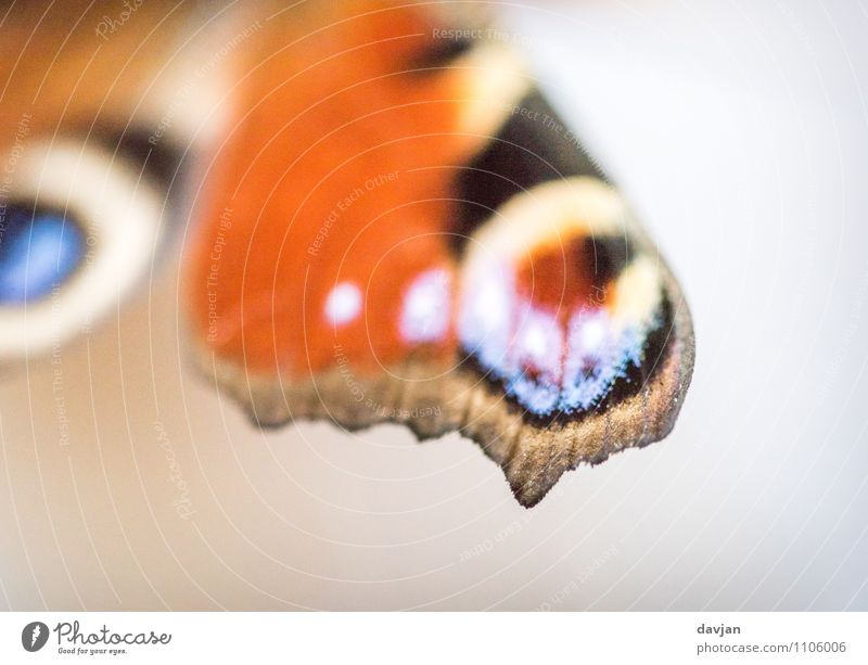 Nature Blue White Animal Black Environment Yellow Orange Esthetic Wing Insect Butterfly Camouflage Peacock butterfly