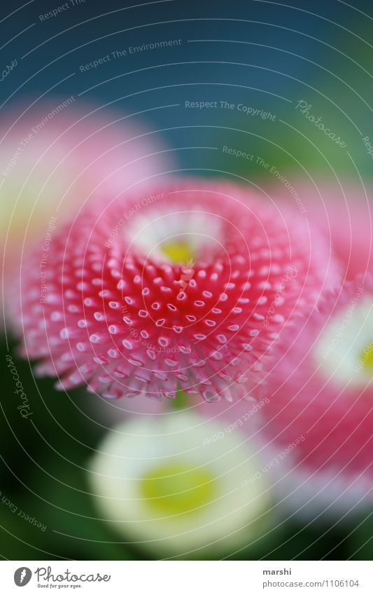 bellis Nature Plant Spring Leaf Blossom Moody Pink Daisy Beautiful Spring flower Colour photo Exterior shot Close-up Detail Macro (Extreme close-up) Day Blur