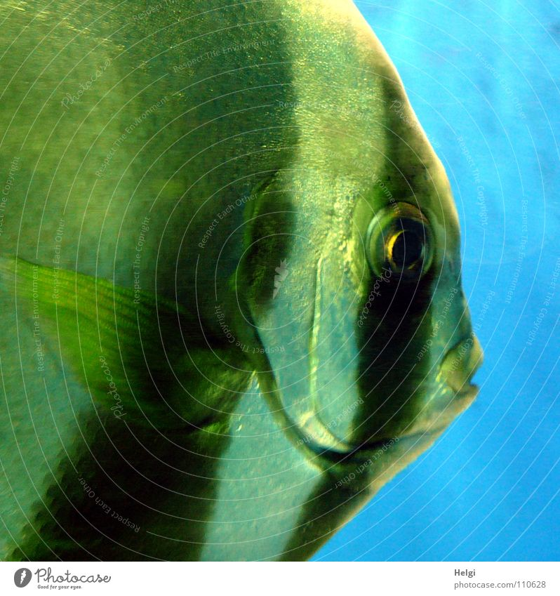 Close-up of a scalar in an aquarium Zoo Aquarium Near Fish mouth Lips Gill Wet Large Looking Stripe Glittering White Black Green Animal Glimmer