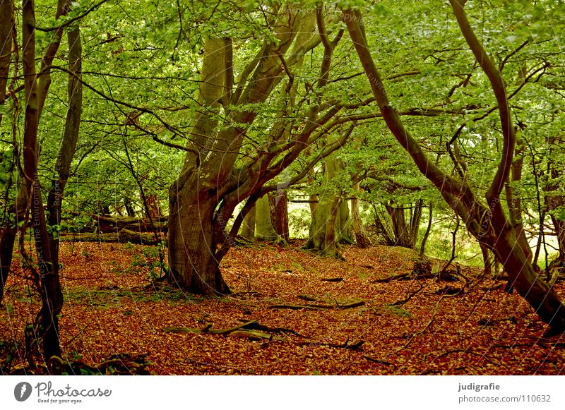 Nature Tree Leaf Colour Forest Environment Virgin forest Darss National Park Deciduous tree Beech tree Mecklenburg-Western Pomerania