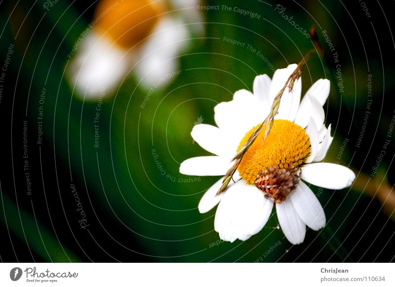 Nature Beautiful White Flower Green Plant Summer Animal Yellow Meadow Blossom Grass Wild animal Blade of grass Daisy Spider