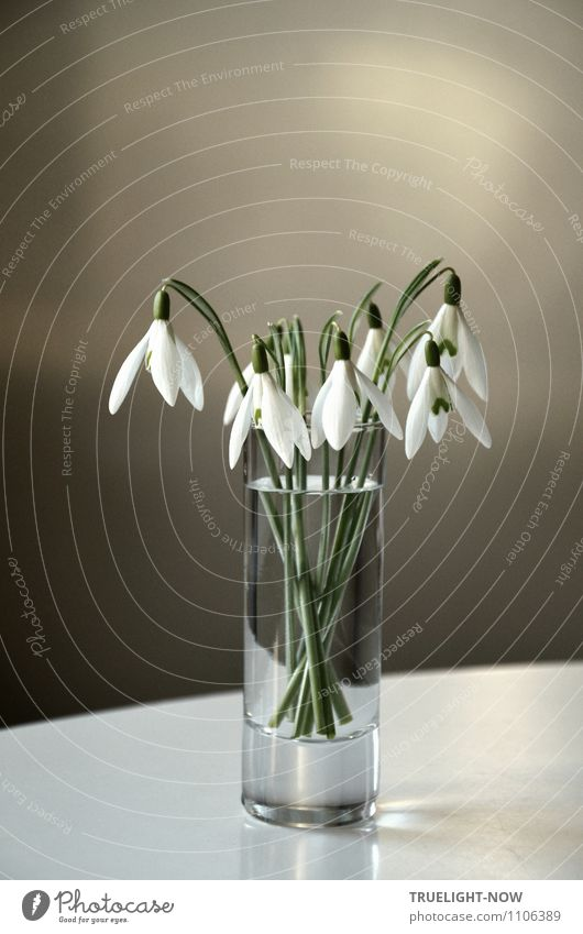 Snowdrops in a glass 1 Lifestyle Elegant Style Design Joy Wellness Harmonious Well-being Contentment Senses Relaxation Calm Living or residing Flat (apartment)