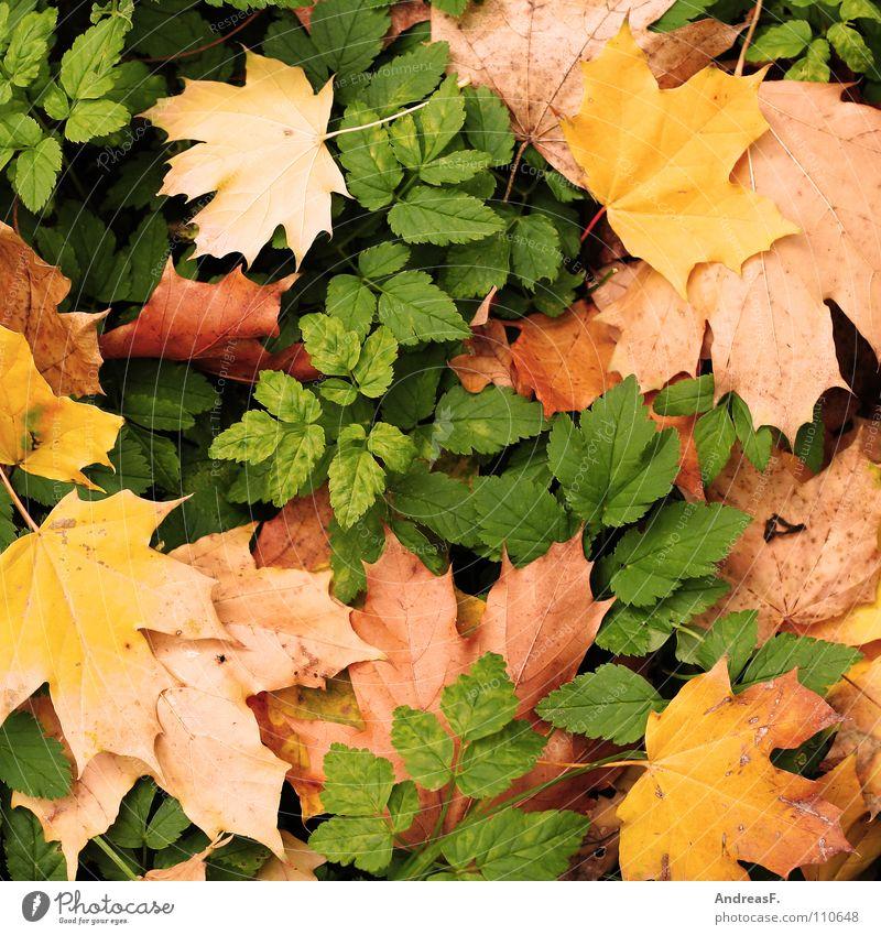 Leaf Autumn Background picture Autumn leaves Autumnal November Maple leaf Maple tree Autumnal colours October Woodground September Deciduous tree