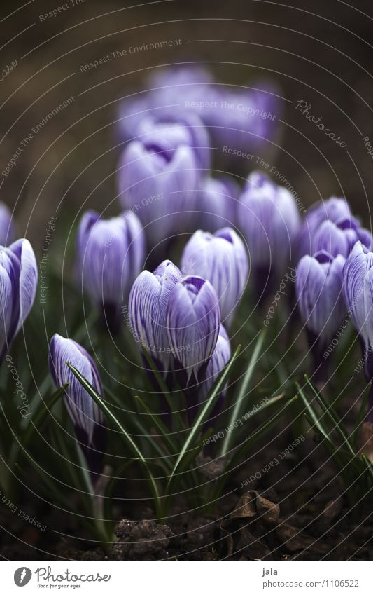 Nature Plant Beautiful Flower Leaf Environment Spring Blossom Natural Garden Esthetic Crocus