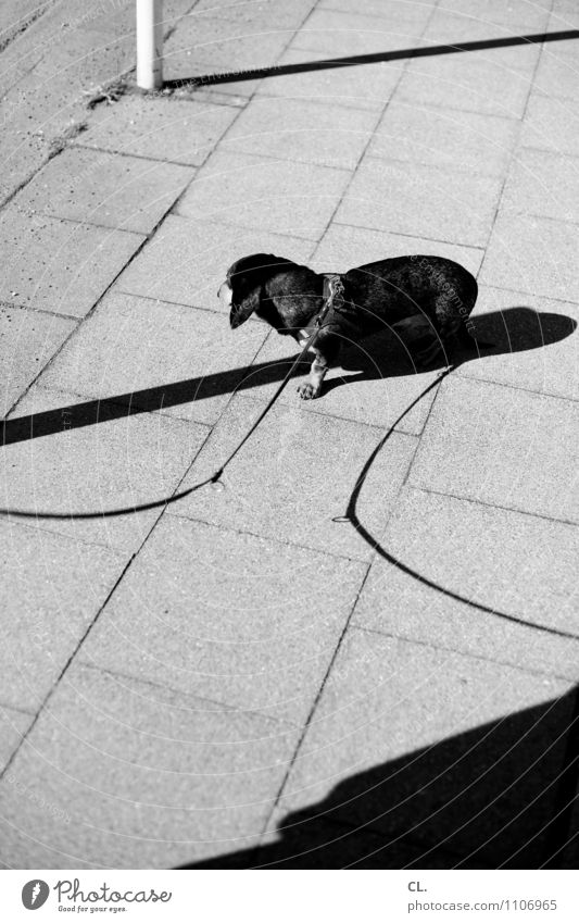 double holds better Traffic infrastructure Lanes & trails Sidewalk Animal Dog Dachshund 1 Dog lead Wait Love of animals Leisure and hobbies Black & white photo
