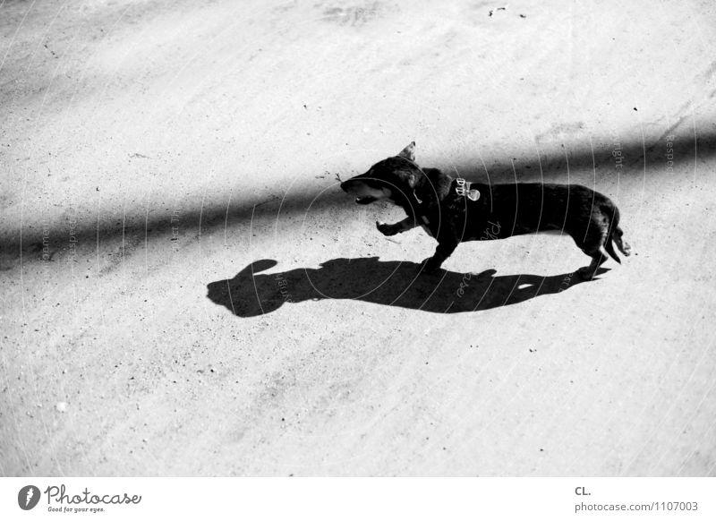 perky Joy Leisure and hobbies Beautiful weather Animal Pet Dog Dachshund 1 Ground Walking Happiness Joie de vivre (Vitality) Love of animals Movement