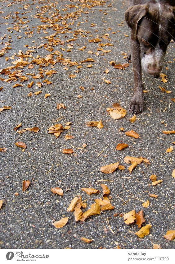 Dog Leaf Animal Street Autumn Playing Air Brown Weather Walking Nose To go for a walk Asphalt Hunting Odor Mammal