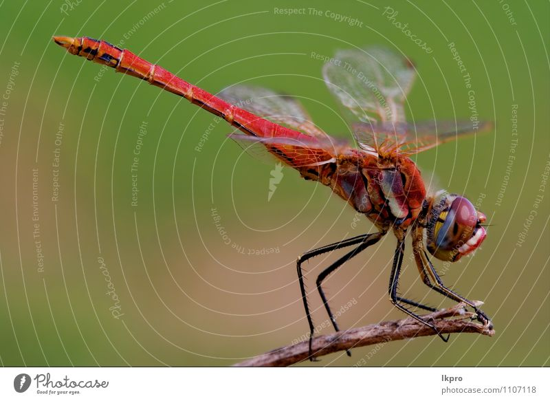 dragonfly Lifestyle Environment Nature Plant Animal Wild animal Wood Brown Yellow Gold Green Red Black White Adventure Aggression Colour lkpro red dragonfly