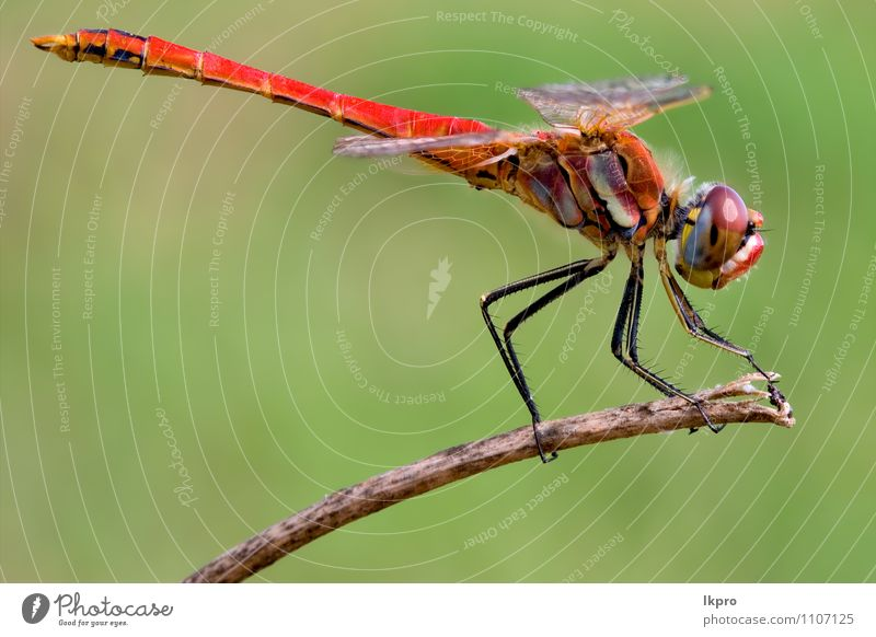 dragonfly Lifestyle Environment Nature Plant Animal Wild animal Wood Brown Yellow Gold Green Red Black Adventure Aggression Colour lkpro red dragonfly colori
