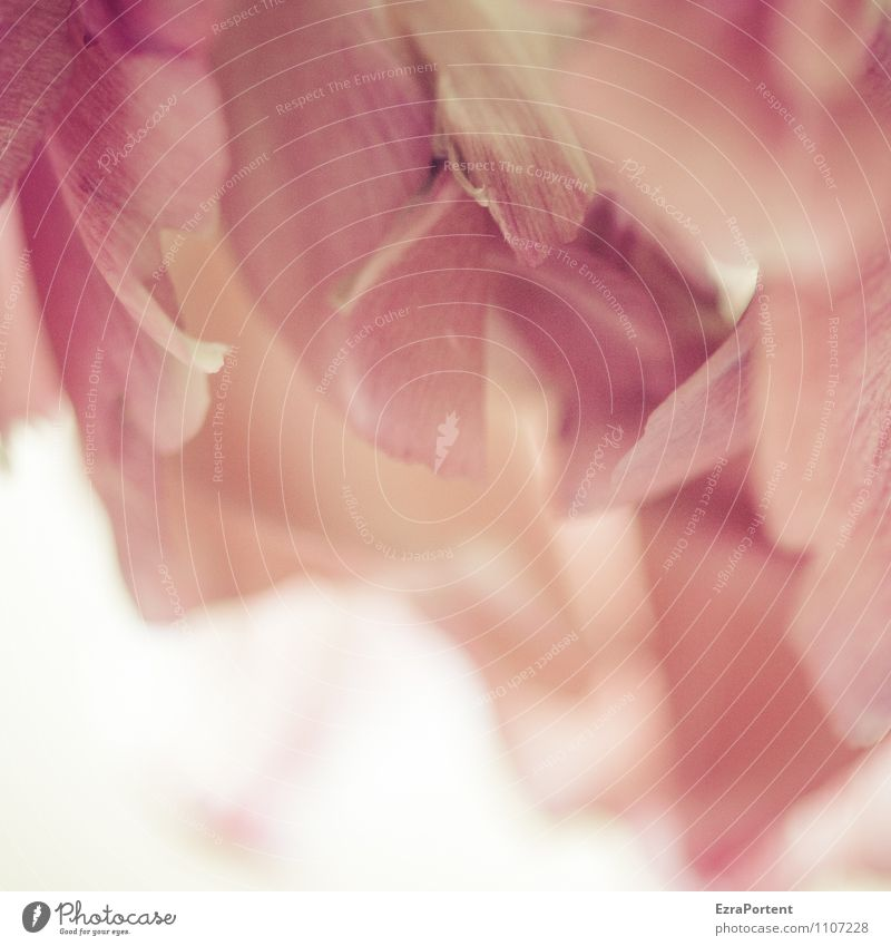 a floret to go with it Plant Spring Flower Blossom Blossoming Natural Beautiful Pink Red White Transience Faded Blossom leave Structures and shapes Colour photo
