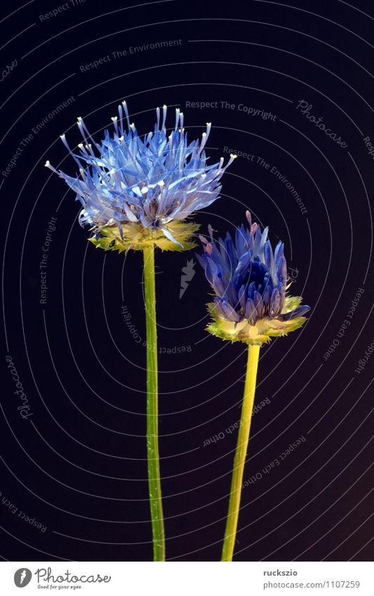 Sandgloeckchen, Jasione, laevis, Garden Nature Plant Flower Blossom Blossoming Free Blue Black sand vole jasion persistent sandra punch Perseverance