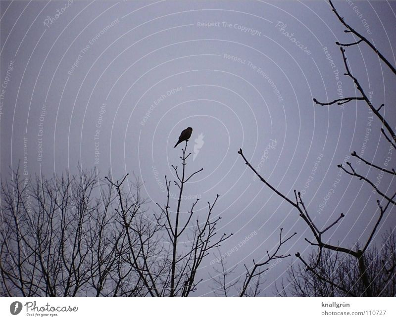 Edgar's Raven Poem Raven birds Gray Dark Black Bird Tree Branchage Sky edgar allan poe Past Never Winter morning Twig Sit Wait Slate blue Cloud cover