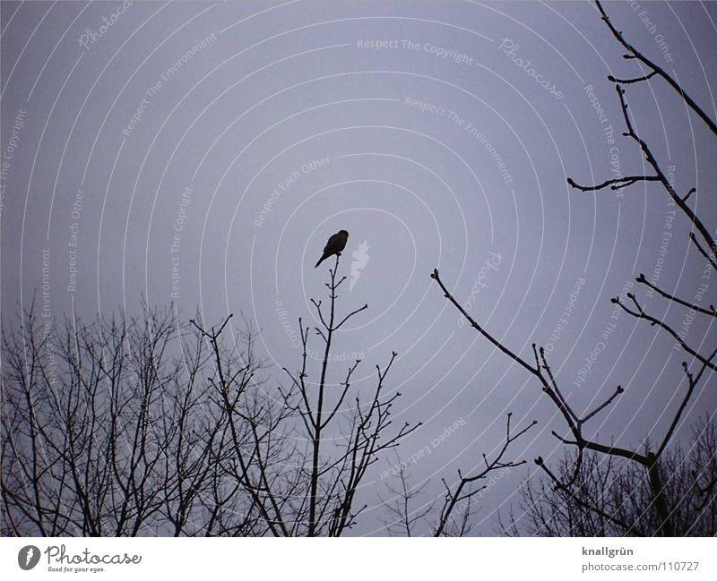 Sky Tree Black Dark Gray Bird Wait Sit Branch Past Twig Branchage Raven birds Poem Slate blue