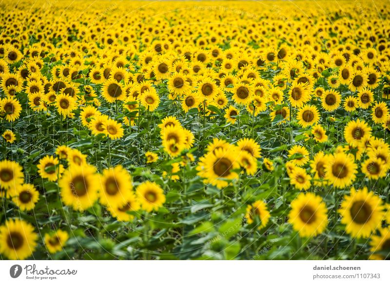 Nature Plant Green Summer Leaf Yellow Blossom Field Happiness Friendliness Fragrance Agricultural crop